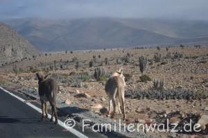 Aug in Aug mit einem Wal - Unser Tag im Humboldt-Nationalpark - Wilde Esel