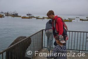 Dem Herzen folgen, Coquimbo streifen und in Pisco Elqui für immer bleiben wollen - Seelöwen im Hafen von Coquimbo